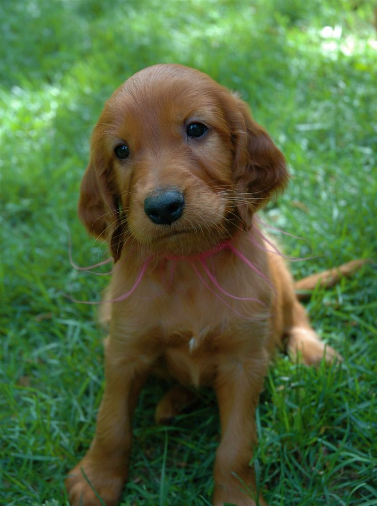 Irish Setter puppy-We had a puppy named Patsy for about a week.  With five hell-raising children, it was more than my mom could handle.  My dad gave her away at his pottery store.  She was darling and had that amazing puppy breath (along with the razor-sharp puppy teeth.)