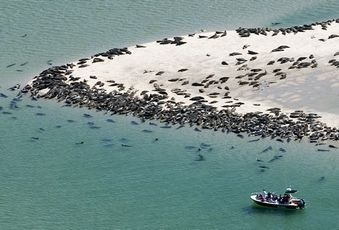 Cape Cod seals..... Sharks are NOT far