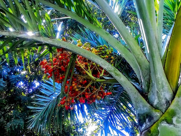 Palm Tree Fruit in Mexico #Caribbean #Welcome2Mexico #Nature