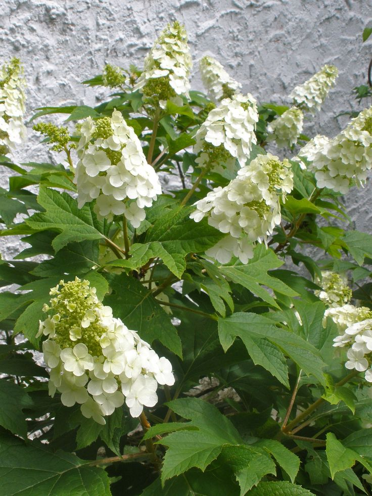 Hydrangea quercifolia 'Snow Queen'. This has a lovely leaf like a giant oak leaf.