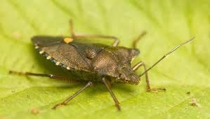 How Do You Get Rid of Stink Bugs - 7 Useful Tips
