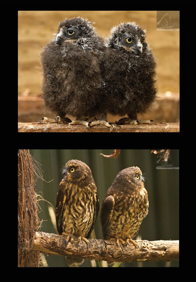I have had the unique opportunity and privilege of witnessing and photographing the journey of two Moreporks – from the time they were tiny chicks to the present day when they stand ready to be released into the wild. Owing to the tireless efforts of Wingspan, two Moreporks will stretch their wings and take off into the skies of New Zealand. Stay safe little ones...