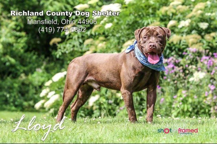 Adopt Lloyd on Petfinder Pitbull terrier, Lloyd