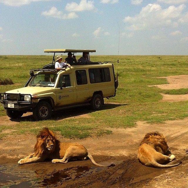 Tett på dyrelivet i Serengeti, på safari med G Adventures Anbefales! #serengeti #tanzania #africa #travel #safari #lion #goexplore #kilroy