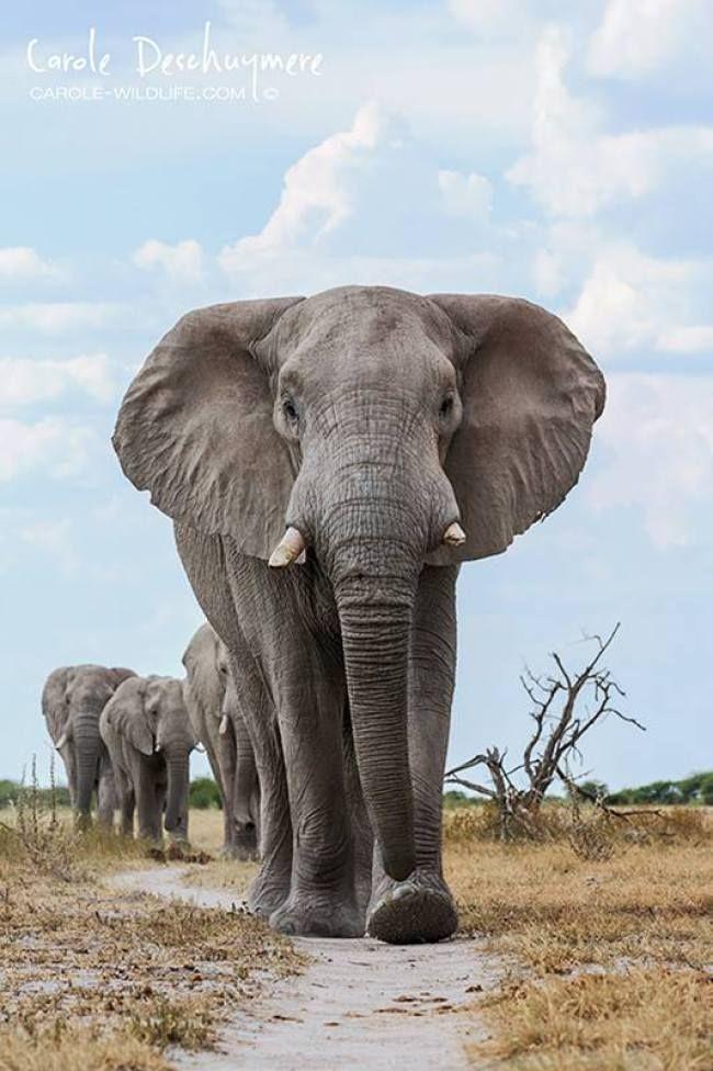A herd of elephants march towards a waterhole in Nxai Pan, Botswana by Carole Deschuymere Wildlife Photography