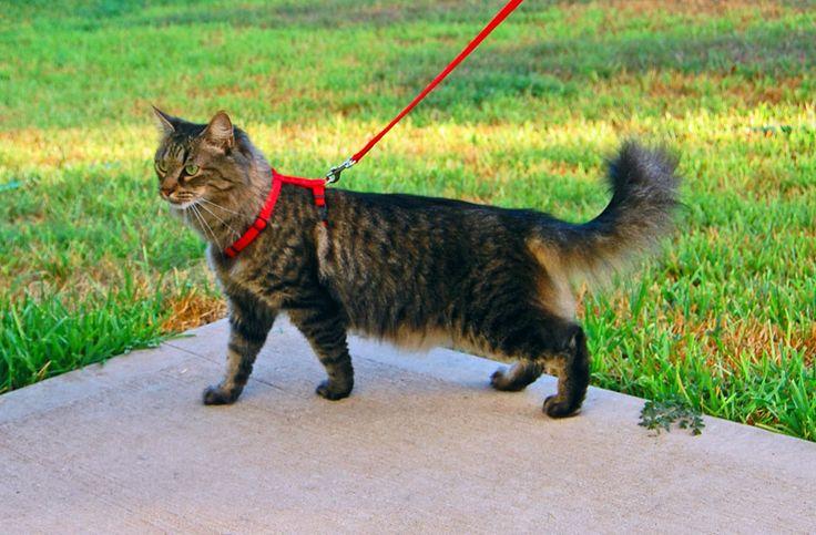 Как приучить кошку к шлейке и прогулкам?  Проще всего приучать к прогулкам и шлейке котят, которые легче адаптируются к новой обстановке и воспринимают все как игру. Но и взрослых кошек можно приучить к прогулкам, следует только проявить терпение.  Чтобы прогулки проходили без риска для кошки попасть под автомобиль или заблудиться, кошку нужно выгуливать на специальной шлейке для кошек.  Шлейки используют для выгула породистых и дорогих кошек, при переездах, визитах к ветеринару, поездок в…