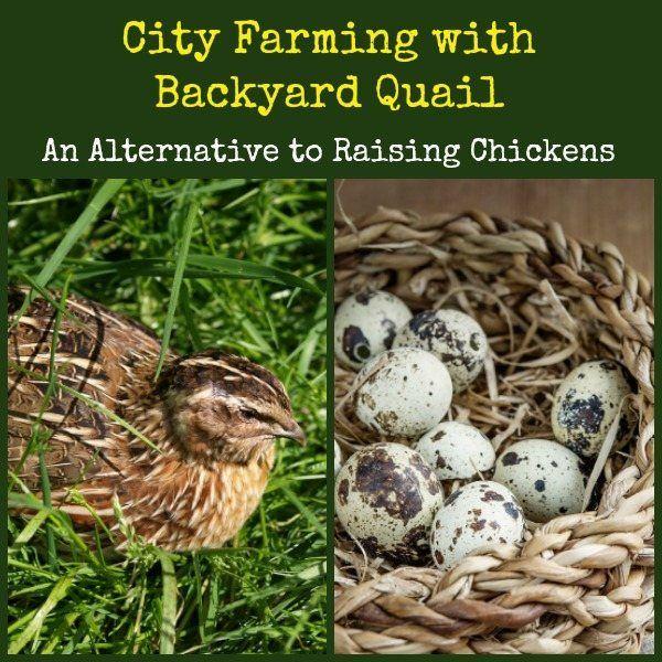 best 25 raising quail ideas on pinterest