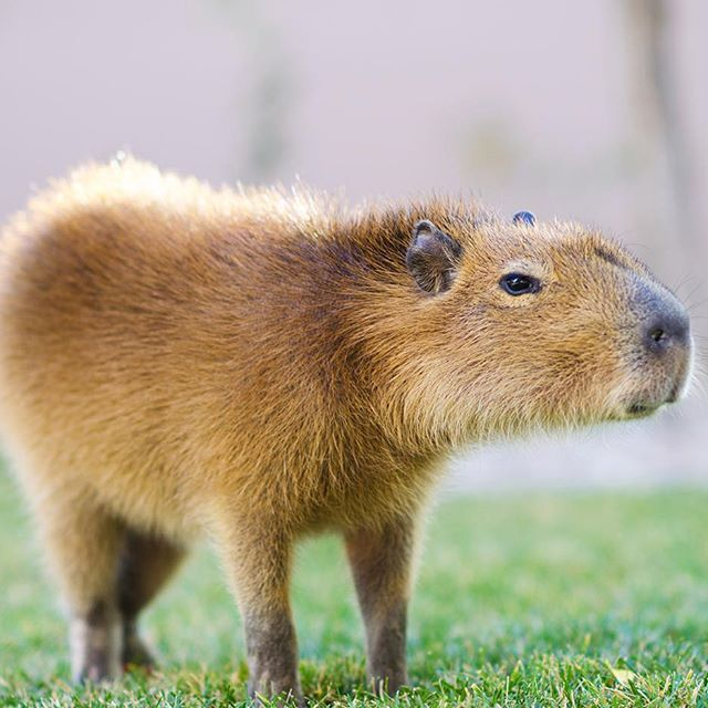 Best 25+ World's largest rodent ideas on Pinterest ...
