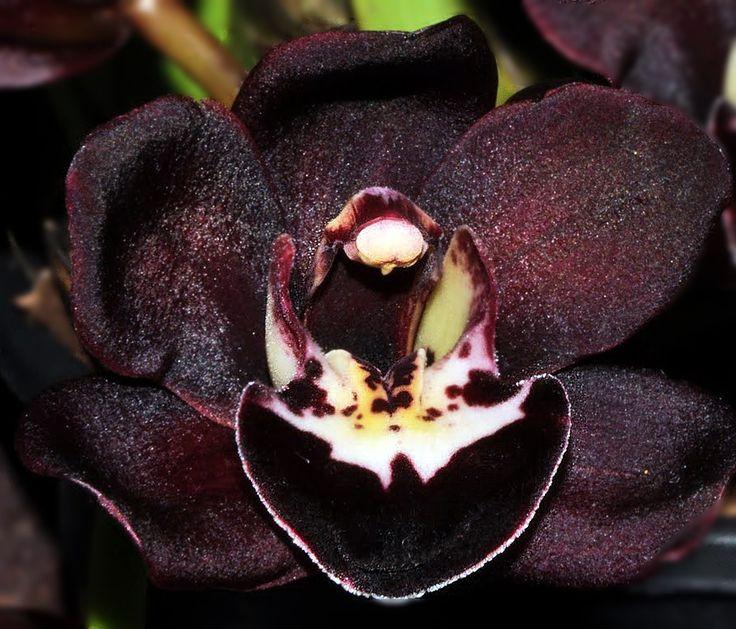 Картинки по запросу черная орхидея