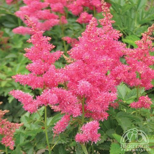 Astilbe 'Drum and Bass'