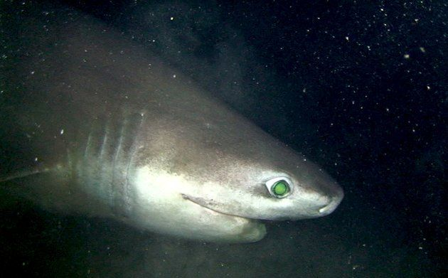 Bluntnose Sixgill Shark Growing larger than a great white ...