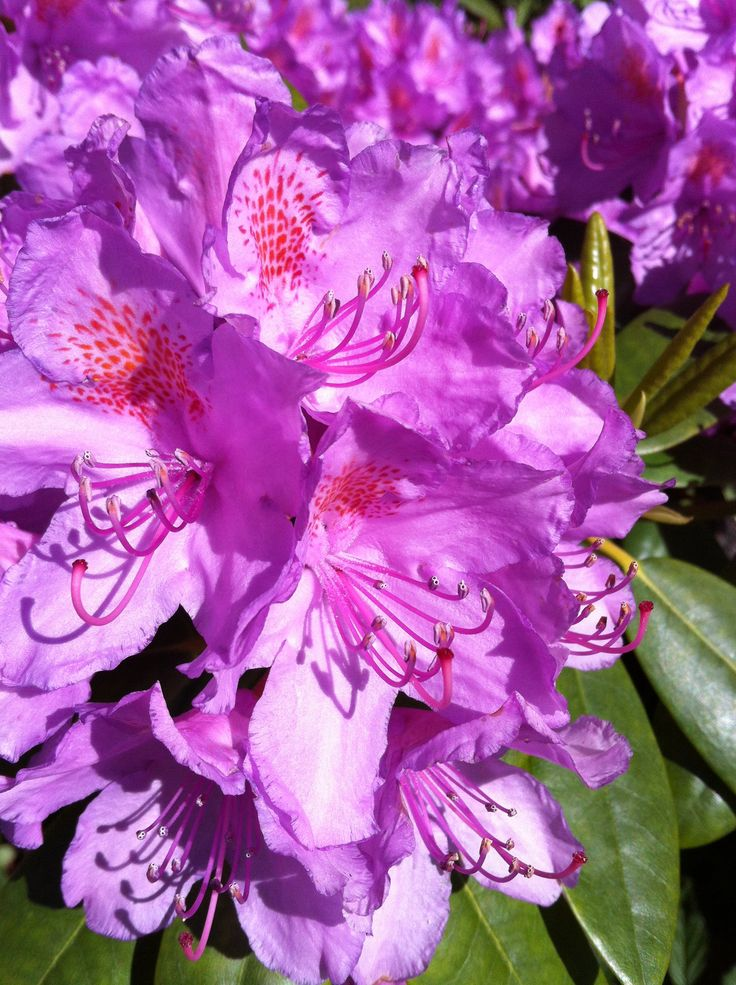 Rhododendron , it´s about 20 years old.