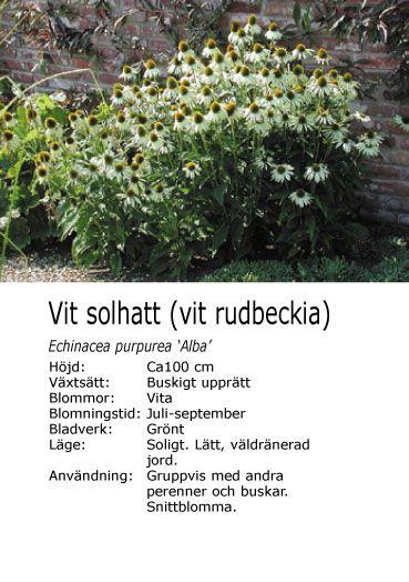 #sommar Echinacea purpurea 'Alba' - Vit solhatt