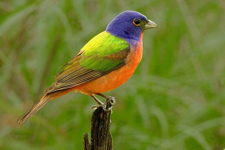 The Painted Bunting. I have seen this bird in person, in my mother's yard in Fort Worth,TX. Hard to believe a bird this exotic looking is native to North America! My favorite bird. -FPorch