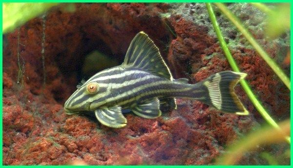 c3436d86b12c7b4872bab8c843b2bd0b - Jenis Jenis Ikan Mas Koki