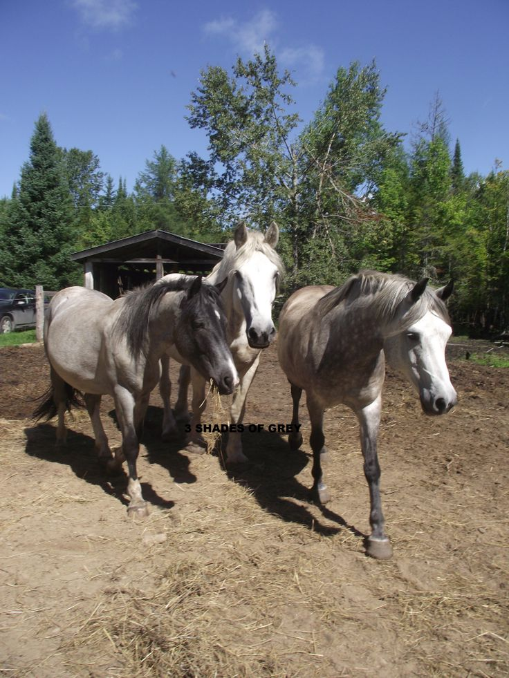 Horses 3 shades of grey!