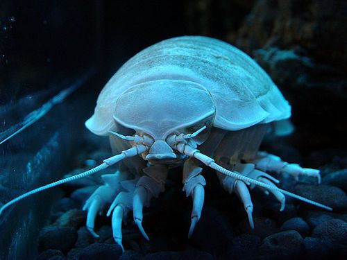 The giant isopod, known scientifically as Bathynomus giganteus, is the largest known member of the isopod family. It is very closely related to the small pillbugs that you can find in the garden. It is a carnivorous crustacean that spends its time scavenging the deep ocean floor. Food is extremely scarce at these great depths, so the isopod has adapted to eat what ever happens to fall to the ocean floor from above. It will also feed on some of the small invertebrates that live at these…