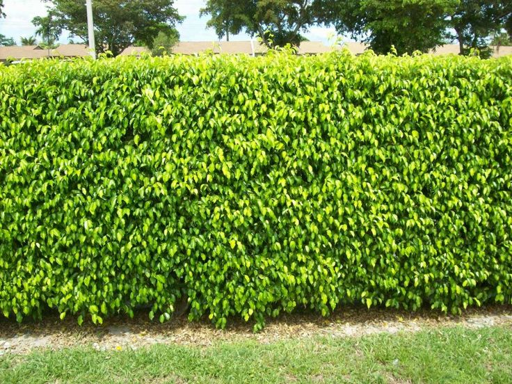 ficus hedge - Google Search