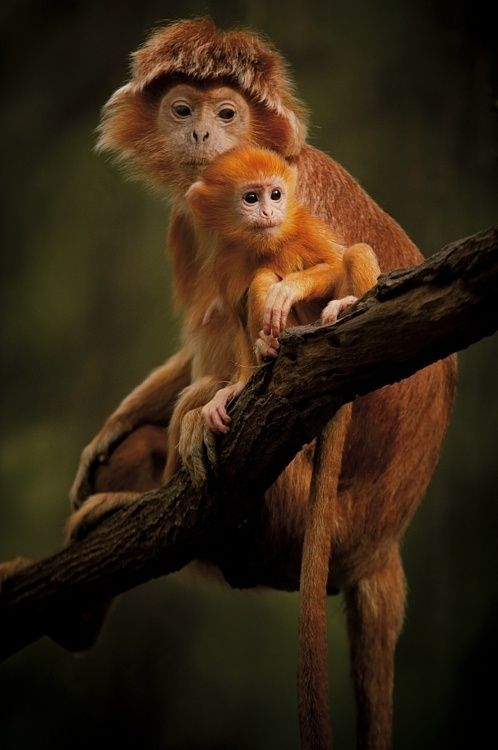 Lutung monkeys