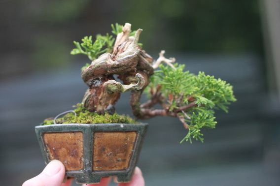 """This is a """"Mame"""" style Bonsai as it is a Juniper which though used as a landscape shrub in the West is actually a temperate outdoor tree.  Mame is in the miniature class of Bonsai.  Mame are """"palm"""" size and from 2-6 inches high."""