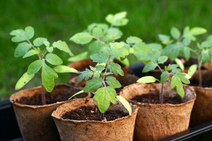 За молодой рассадой приглядывать надо, как за маленьким ребенком. Чуть не доглядишь, как растения уже «головы повесили», побледнели или вообще полегли. А если, не дай Бог, на рассаду нападет черная н…