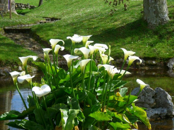 Jardines con calas buscar con google jardineria - Nombres de plantas de jardin ...