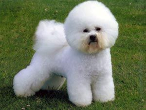 Los perros de raza Bichón Frisé, los perros esponjosos