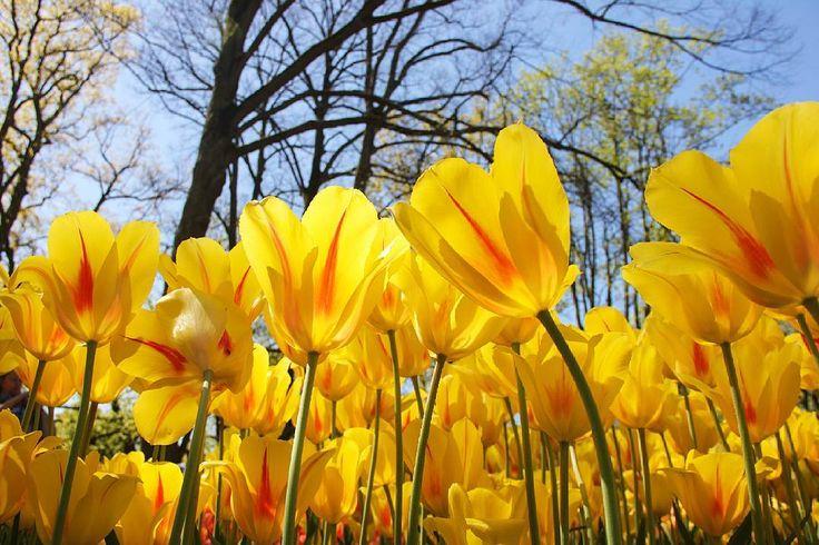 Happy friday! На дорожках парка мы потеряли маму среди клумб и цветущих деревьев. Она с горящими глазами ходила по райским кущам не убирая палец с затвора фотоаппарата. За этот день на её (да и моём) фотоаппарате фотографий добавилось едва ли не столько же сколько за всю предыдущую неделю! #Кёкенхоф #Голландия #Нидерланды #МаминаБогемия #Keukenhof #Holland #Nederland #Netherlands by indegerd