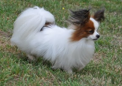 Papillon: White Hair, Hair Blowing, Doggies Dogs, Jennifer'S S Dogs, Jennifer Dogs, Cute Photos, Papillons White