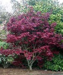 Acer palmatum 'Beni otake' - Hess Landscape Nursery - Finleyville, Pennsylvania