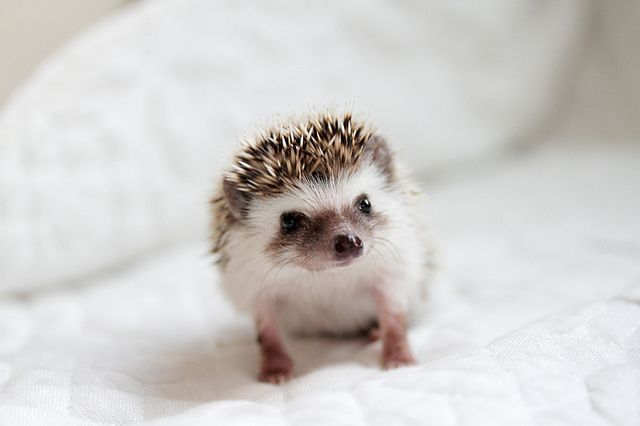 hedgehog how cute. I want one! get me one and i will love you forever!