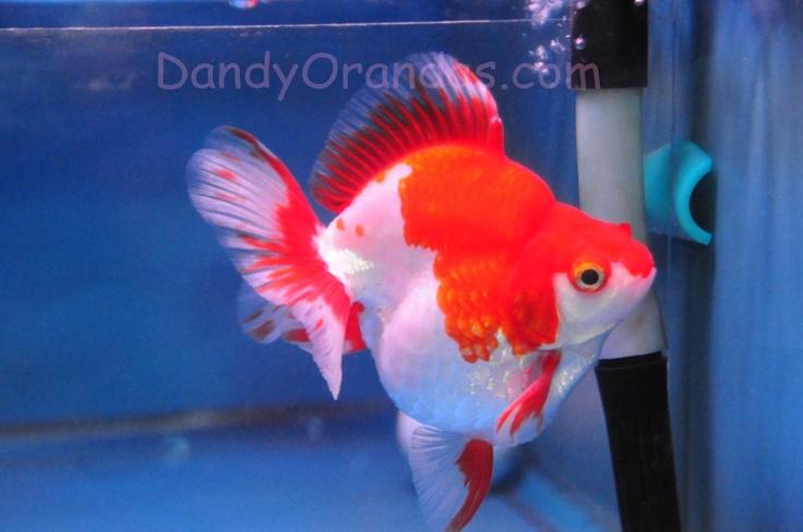 Red and White Ryukin Goldfish from Dandy Orandas
