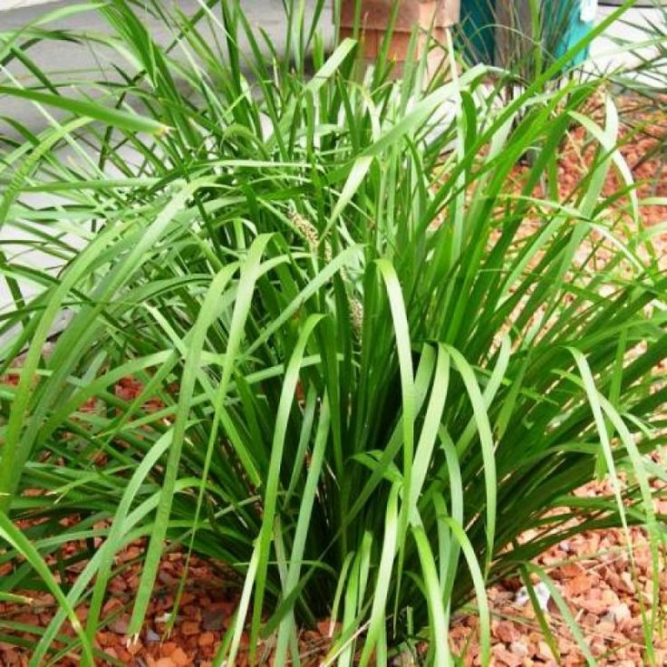 Lomandra longifolia Better in dry soils and dry climates