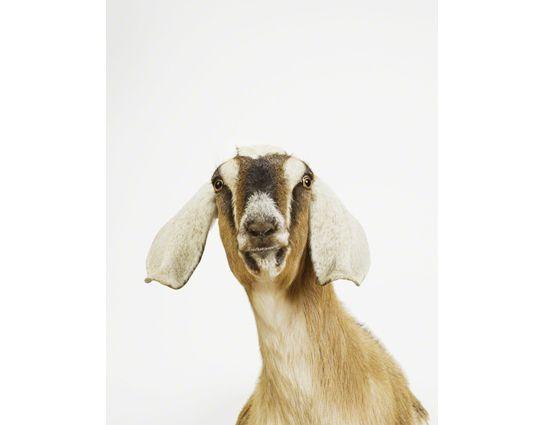 Nubian Goat Close-up
