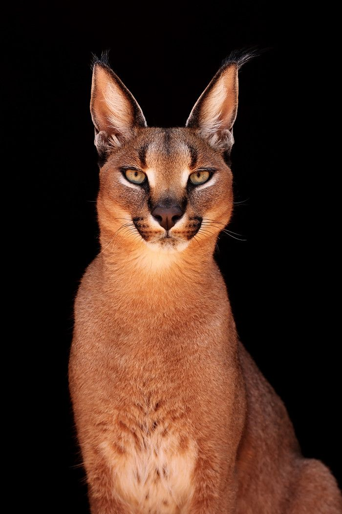 Caracal -  a wild cat widely distributed across Africa, Central Asia, and Southwest Asia into India. In 2002, the IUCN listed the caracal as Least Concern, as it is widespread and relatively common. It has a long tuft on the tip of the ears and a few spots on the underside and inside of the fore legs.[4] It is a slender, long-legged cat of medium size with a relatively short tail.