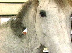 Deformed+Horses | Horse With Open Hole In Neck | Animal ...