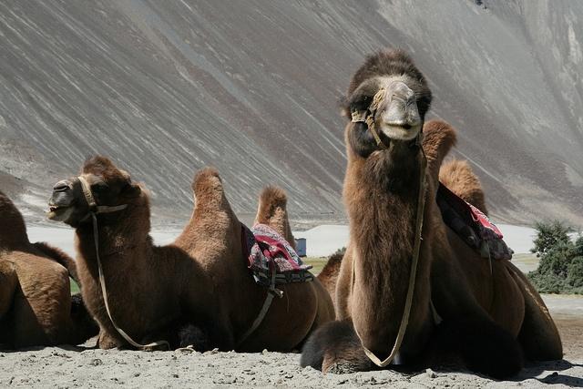 viaje a India - Ladakh -camellos en valle de Nubra  Nuestro viaje relacionado:  http://www.taranna.com/viaje-a-india-norte-grupo-verano-india-con-extensiones/