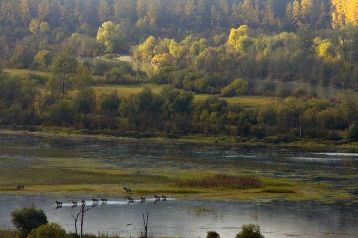 Elk crossing the Wetlands