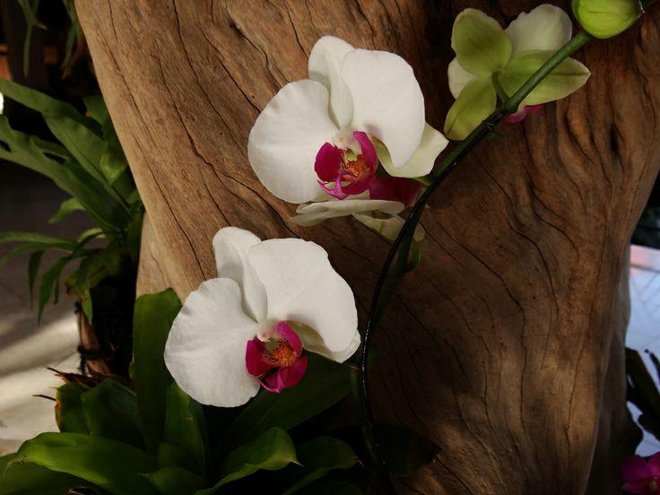 Phalaenopsis Amabilis