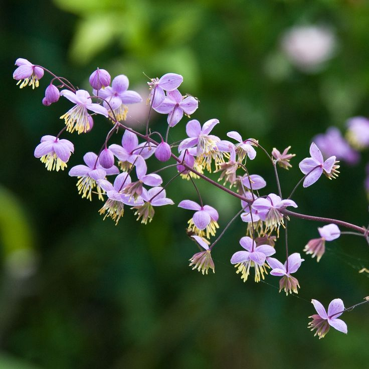 1000 images about piet oudolf 39 s 100 must have plants on for Thalictrum rochebrunianum rhs