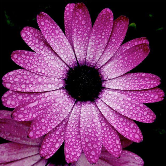 Beautiful: Google Image, Color, Purple Flowers, Beautiful Flowers, Flower Power, Rain Drops, Photo, Purple Daisy
