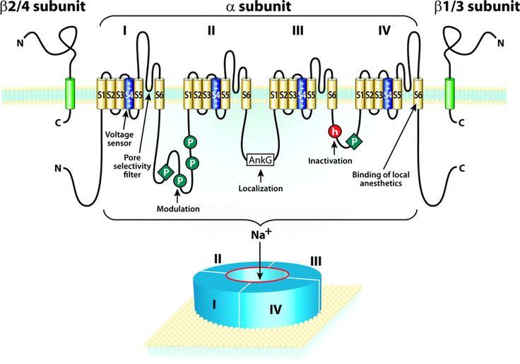Afbeeldingsresultaat voor voltage dependent sodium channel