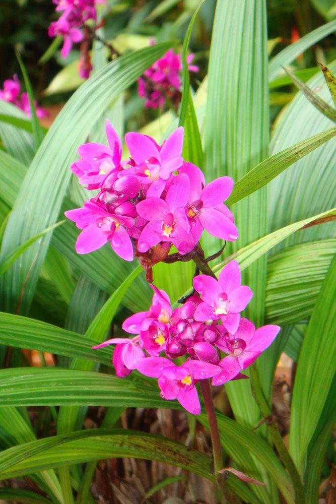 Orquídea-violeta ou Spathoglottis plicata. OQuando vi a folha plissada, tive certeza de que era a mesma espécie da foto. Tinha programado um post para esclarecer a dúvida da Poliana nos próximos dias, mas ela foi mais rápida. Ontem, me mandou outra foto, com a orquídea em flor. Então, está confirmado. A orquídea da Poliana é a Spathoglottis, uma espécie terrestre, que atinge até 50 cm de altura, com flores formadas durante quase o ano todo (principalmente em regiões de clima quente e úmido…