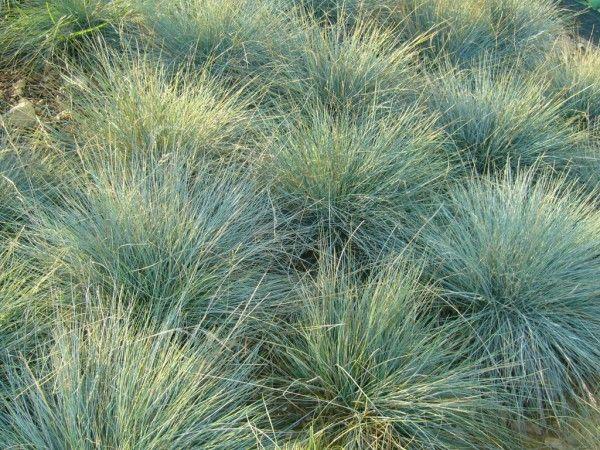 Festuca actae - Banks Peninsula blue tussock