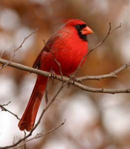 Why is a cardinal red? by webexhibits.org: The eye-catching colors of many birds are determined by what they eat and how it is metabolized.  The carotenoid pigments of the various tasty berries and seeds that the red Cardinal enjoys in the summer are metabolized and converted to a red pigment which is laid down in the feather follicles. If a cardinal was fed just one type of seed, its feathers would become progressively duller with each molt.#Cardinal #Pigmentation