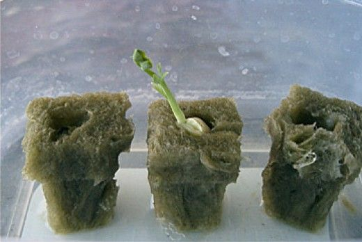How to start seeds for hydroponic systems. Use rockwood cubes and a small container to start your seeds for use with a hydroponic system.