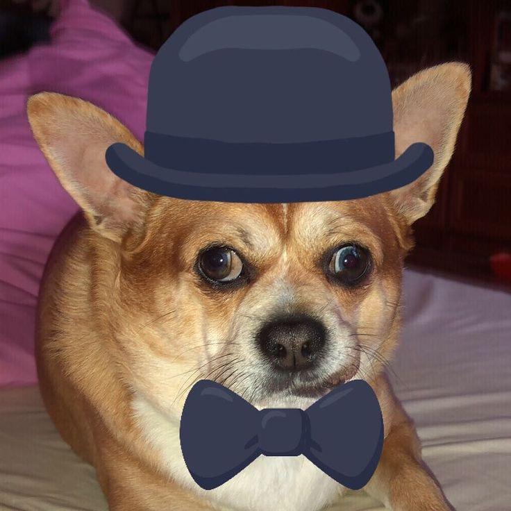#chiwawa #dog #lord #yoda #elegant #coutryside