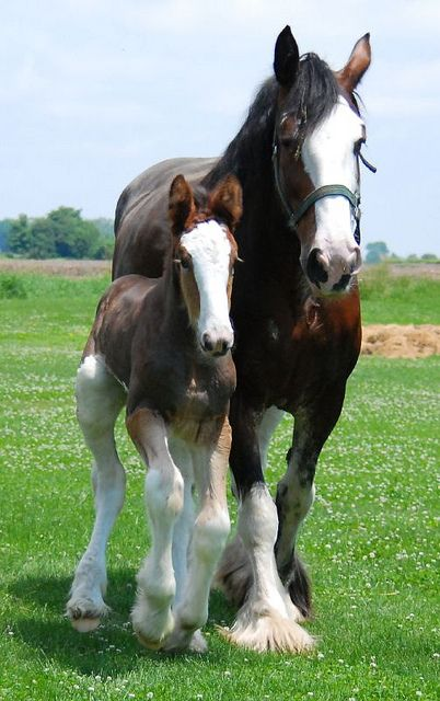 Clydesdale horse - Draft horse - Mare with her colt.