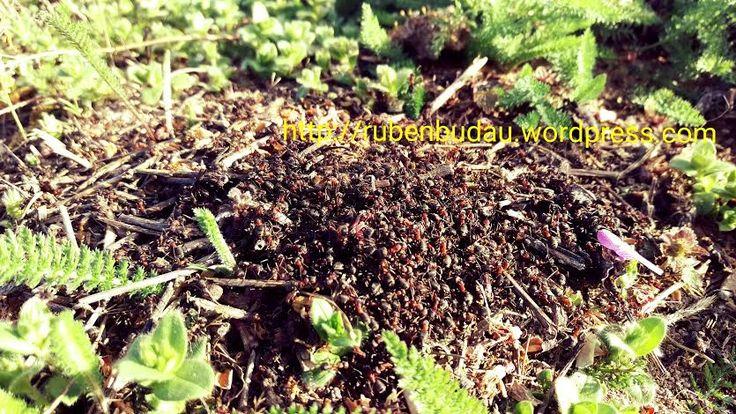 Mare mi-a fost bucuria să constat cum în Ferma Bărzani se formează o nouă colonie de furnici, tocmai la umbra migdalilor. Au ales inteligent locul pentru că, în acel…