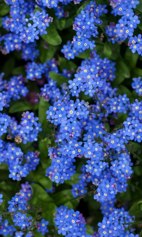 Forget-me-nots-   Tiny blue flowers, great to plant under trees for early spring color.  Spread rapidly in environment.